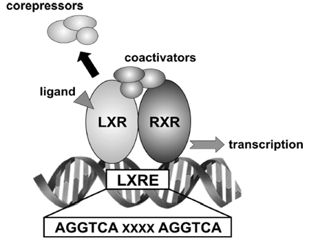 Mechanism-of-transcriptional-regulation-mediated-by-LXRs.png